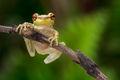 cuban treefrog, amphibian, frog, Osteopilus septentrionalis, Florida, Patrick Zephyr