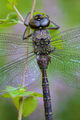 dragonfly, blue, darner, morning, dew, massachusetts, patrick zephyr, macro, photography