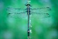 dragonfly, blue, dragon hunter, morning, dew, massachusetts, patrick zephyr, macro, photography