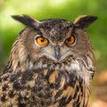 owl, eurasian eagle owl, florida, portrait, patrick zephyr
