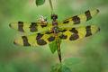 dragonfly, blue, halloween pennant, morning, dew, massachusetts, patrick zephyr, macro, photography