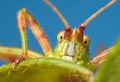 katydid, insect, massachusetts, patrick zephyr, portrait, macro, photography