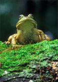 Bull Frog print