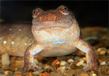 Northern Dusky Salamander print