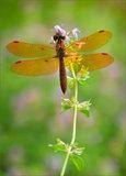 Eastern Amberwing (male) print