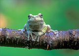 Gray Treefrog print