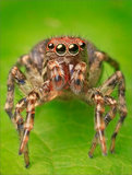 Unknown Jumping Spider print
