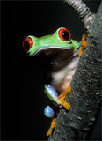 Red-eyed Treefrog print