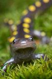 Spotted Salamander print