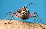 Tiger Beetle print
