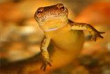 Northern Two-lined Salamander print