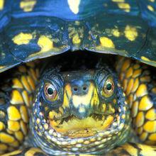 Box Turtle Puzzles
