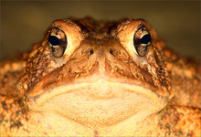 amphibian, herp, frog, toad, anura