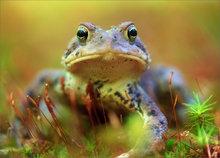 amphibian, herp, frog, toad, american toad, Bufo americanus, anura