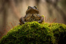 Anaxyrus americanus, american toad, toad, amphibian, Massachusetts, Patrick Zephyr,