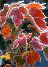 Frost, autumn, leaves, red