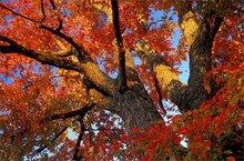 Autumn, red, maple, Pelham, Massachusetts