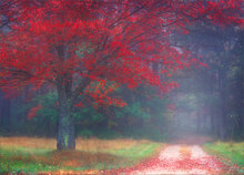 Amherst, autumn, tree, forest, red maple