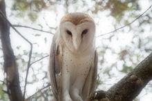 barn owl, Tyto alba, owl, night, Patrick Zephyr
