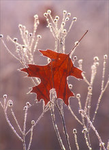Frost, leaf, winter