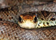 snake, Coluber c. constrictor, black racer