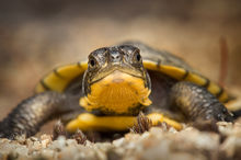 blandings turtle, hatchling, turtle, Emydoidea blandingii