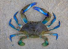 Blue crab, sand