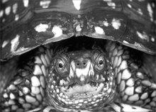 Eastern box turtle, turtle, terra pence c Carolina,