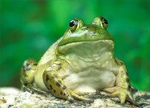 amphibian, herp, frog, toad, bull frog, rana catesbeiana, anura