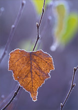 Frost, leaf,
