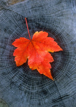 Red maple, leaf