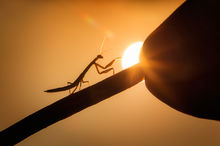 Tender sinensis, praying mantis, chinese mantis, massachusetts, insect, ET Phone Home, macro photography, sunrise, silhouette