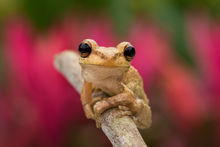 cuban tree frog,Osteopilus septentrionalis, amphibian, frog, tree frog, Patrick Zephyr