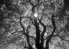 Tree, sun star