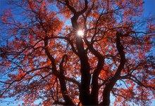 Pelham, autumn, red, tree, sun star,