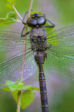 dragonfly, blue, darner, morning, dew, massachusetts, patrick zephyr, macro, photography