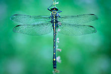 dragonfly, blue, dragon hunter, morning, dew, massachusetts, patrick zephyr, macro, photography