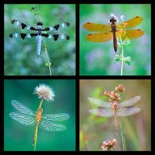 Dragonfly 2 Coaster Set
