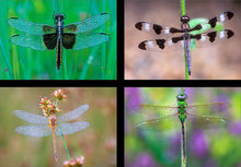 Dragonfly (4 images)