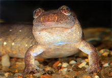 dusky salamander, northern dusky salamander, desmognathus fuscus, salamander, amphibian, Massachusetts