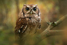 Megascops asio, eastern screech owl, owl, night, bird, Patrick Zephyr