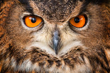 owl, eurasian eagle owl, bird, eyes,
