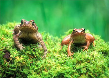amphibian, herp, frog, toad, wood frog, american toad, anura