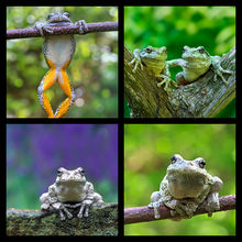 Gray Treefrog Coaster Set