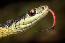 garter snake, Massachusetts, New England, snake, Thamnophis, Patrick Zephyr,