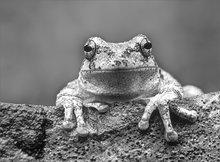 Tree frog, gray tree frog, hyla versicolor, frog
