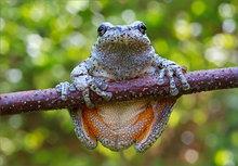 frog, amphibian, treefrog, bokeh, gray treefrog, hyla versicolor