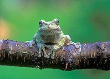 amphibian, herp, frog, toad, gray treefrog, treefrog, hyla versicolor, anura