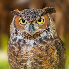 Great Horned Owl Puzzles