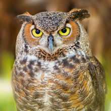 owl, great horned owl, florida, patrick zephyr, portrait